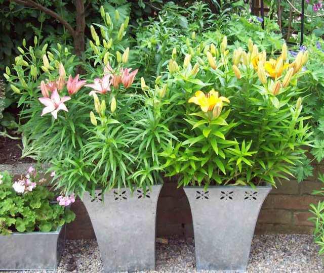 Bouquet lilies in pots