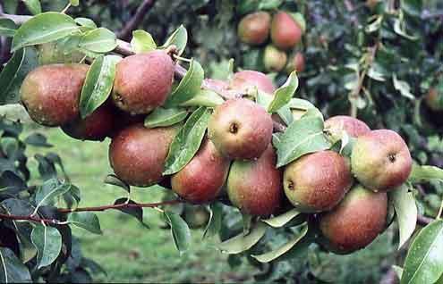 Pear Saxonia Eckehart