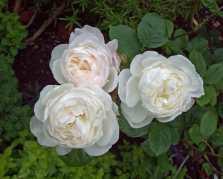 Rose Desdemona