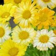 Calendula Citrus Daisy Mixed