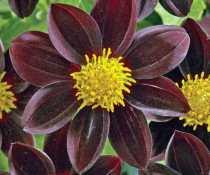 Dahlia Black Beauty. Picture; Thompson & Morgan
