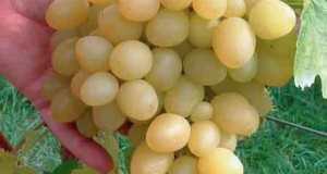 Grape Arkadia