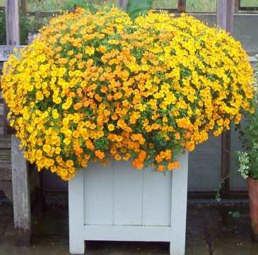 Marigold ball