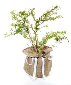 Miniature Cherry (Prunus incisa Kojo-no-moi) from Trees Direct