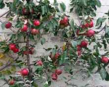Apple Red Falstaff