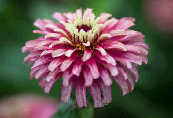 Mazurkia. Picture; Chiltern Seeds