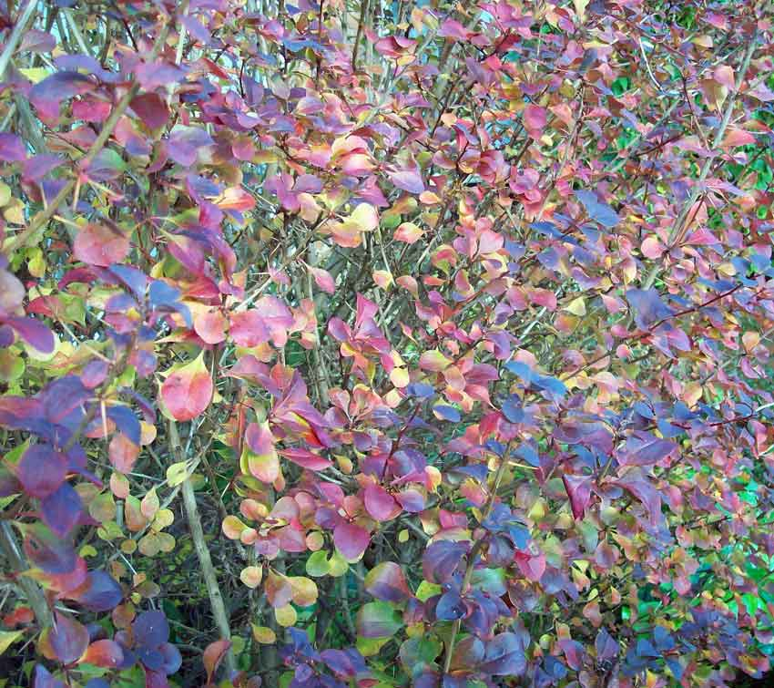 Berberis atropurpurea in November