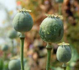 Opium poppy seed heads