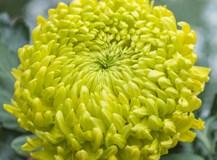 Chrysanthemum Jade Green from Woolmans. Picture; Woolmans