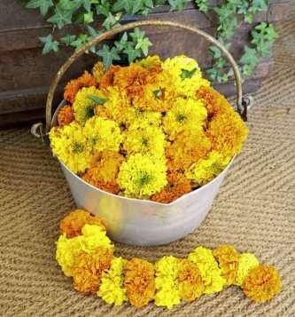 Indian marigold Kushi