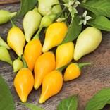 chilli biquino yellow