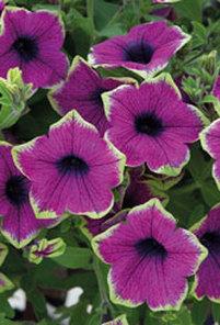 Petunia Designer Buzz Purple. Picture; Mr. Fothergill's