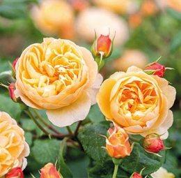 Rose Roald Dahl