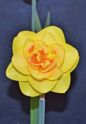 Show daffodil