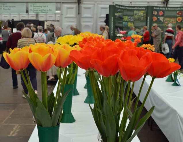Show tulips