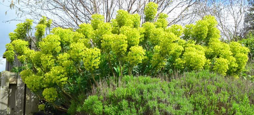 Euphorbias Mandycanudigit