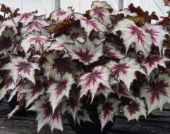 Dibley's Nurseries Begonia Silver Spirit