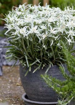 Harperley Hall Farm Nurseries - Leontopodium Blossom of Snow