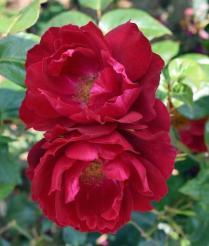 Peter Beales Roses - Rosa Papworth's Pride