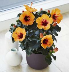 Scotts Miracle Gro - Hibiscus Petit Orange