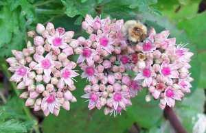 Bee Sedum