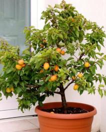 Sibleys Apricot
