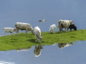 Cows flood