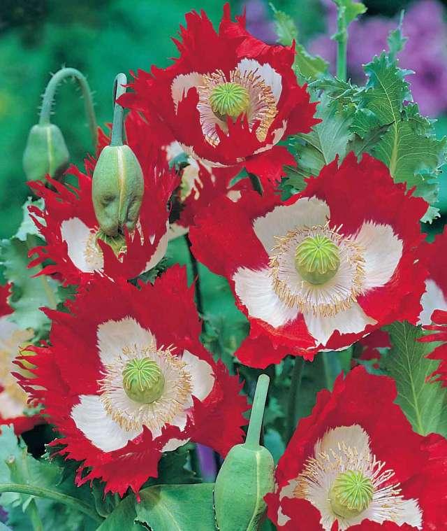 Poppy Victoria Cross