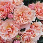 Twiggy's Rose