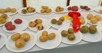 Shields Row Allotment Association's potato sets