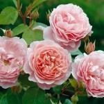 Fragrant roses: 6 of the best