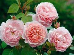 Strawberry Hill rose
