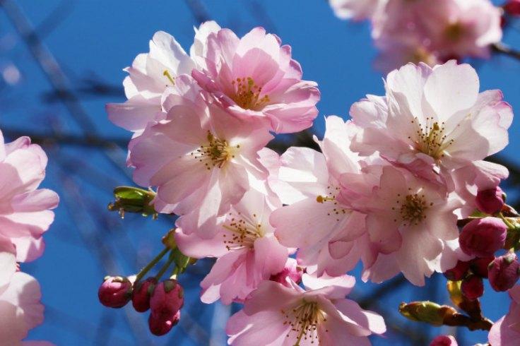 At risk... all Prunus species