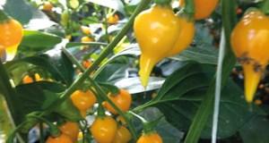Chilli Biquino Yellow. Picture; Mr Fothergill's