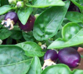 Chilli Loco in its purple phase