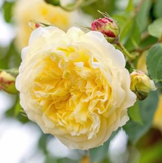 Rose The Pilgrim. Picture; David Austin Roses