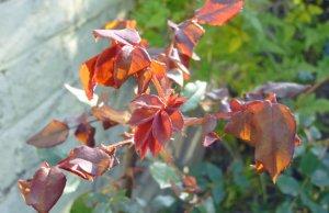 November rose foliage. Picture; Vanessa Sundin