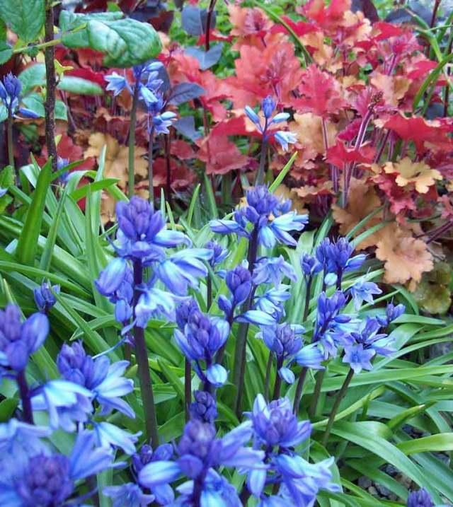 Heuchera Marmalade and bluebells