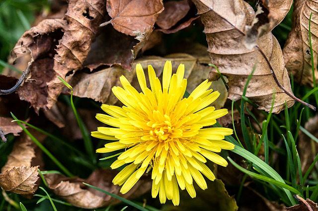 Get rid of perennial weeds like dandelions