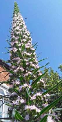 Echium flowers spike lengthens