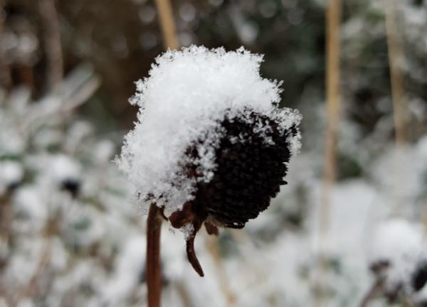 Snow on a frozen Rudbeckia Goldsturm stem