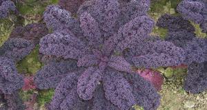 Kale Sympatic. Picture; Johnsons