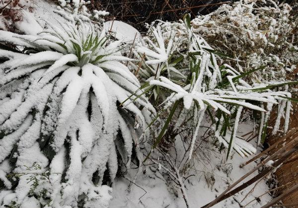 Not-so-tropical bed - Echium pininana and windmill palm