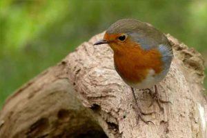 Will you spot a robin during the Big Garden Birdwatch?