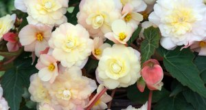Begonia Sweet Pearl Cascade. Picture; Woolmans