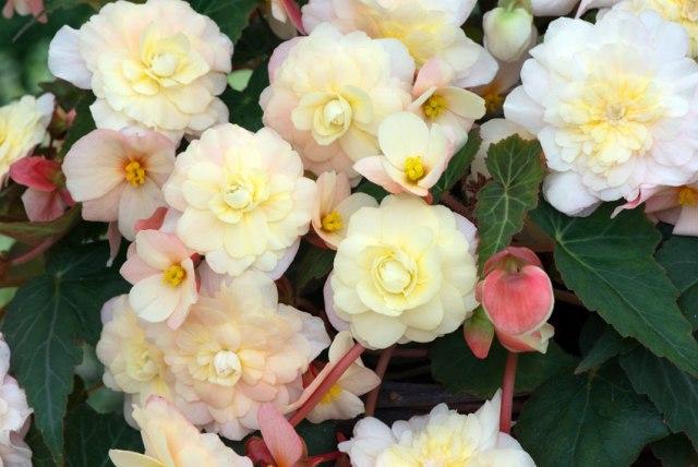 Begonia Sweet Pearl Cascade. Picture; Woolmans