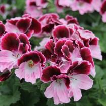 Regal Pelargonium Jeanette. Picture; Woolmans