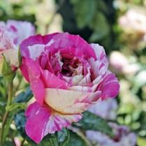 Rose Claude Monet. Picture; Woolmans