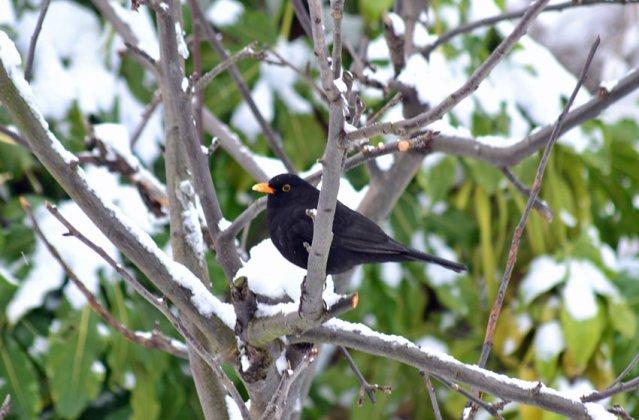 Blackbird in the old apple tree