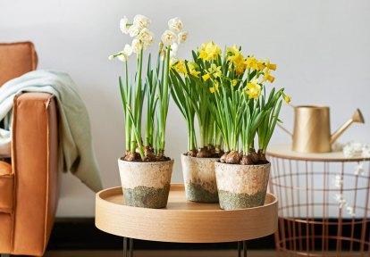 Narcissi in a neutral colour scheme. Picture; thejoyofplants.co.uk